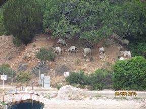 Golden Goats